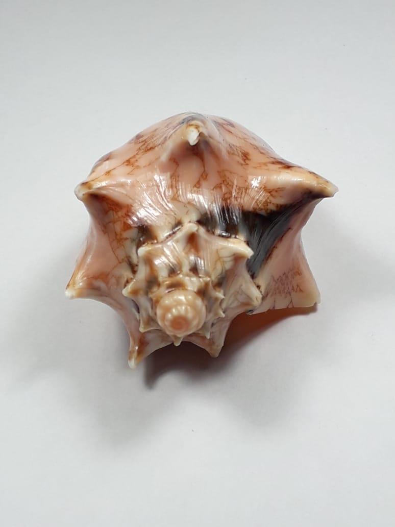 Cymbiola vespertilio - (Linnaeus, 1758) 58