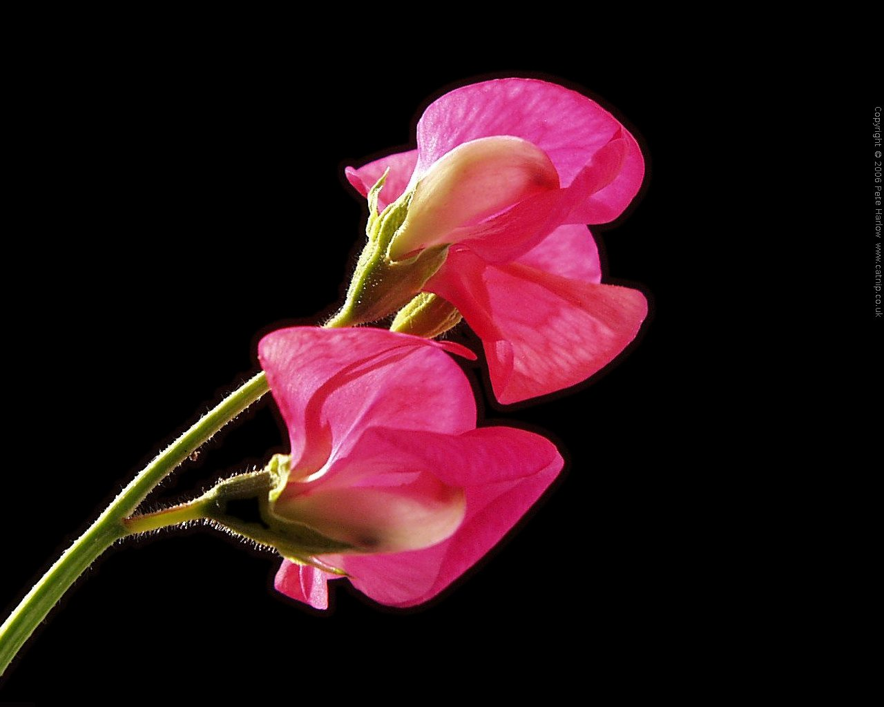 amazing flower: gladiolus flower wallpaper