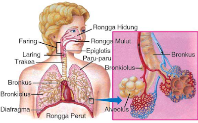 Sistem Ekskresi Paru Paru Pada Manusia dan Penyakitnya [Lengkap]