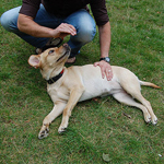 abdominal para cães