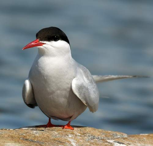 Indian birds - Image of Arctic tern - Sterna paradisaea