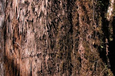 gimnospermas argentinoas Pino del cerro (Podocarpus parlatorei)
