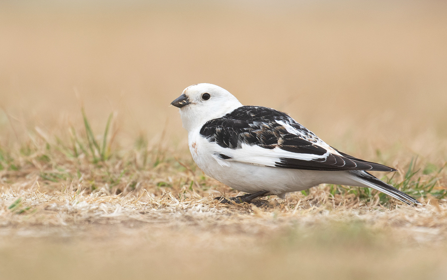 Snow Bunting at Deal in Kent