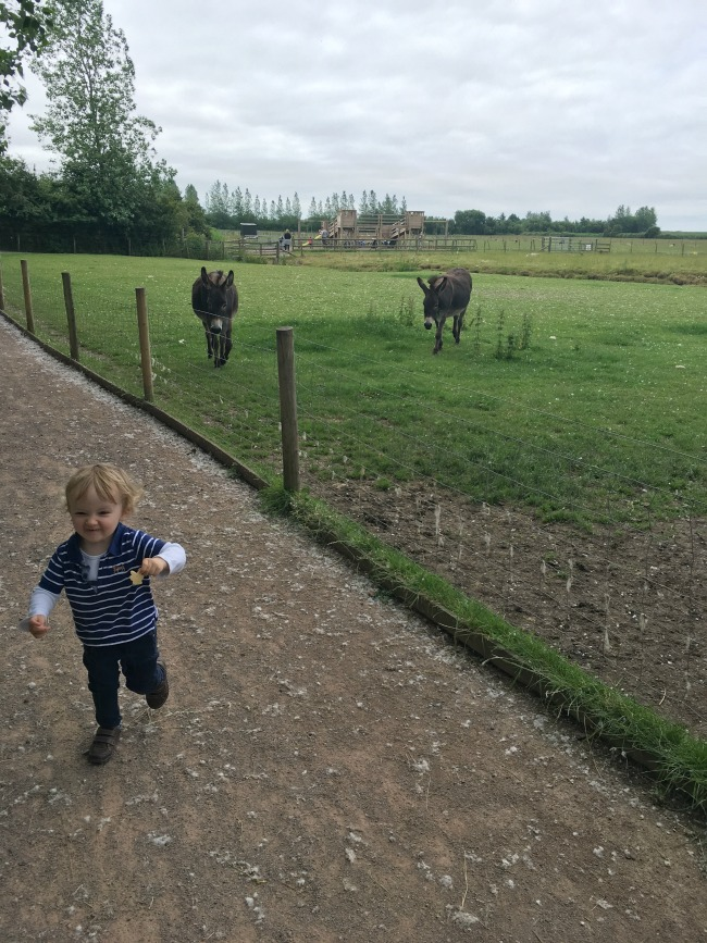Walnut-tree-farm-park-A-Toddler-running-from-donkeys
