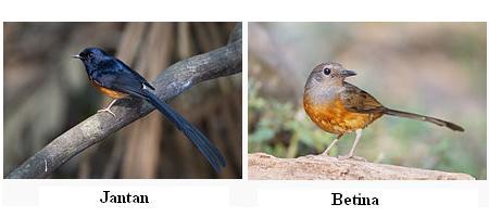 Salah satu burung peliharaan yang terkenal di Indonesia ini dalam bahasa Inggris dikenal  Mengenal Burung Murai Batu