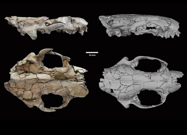 6.24 million year old otter was size of modern wolf