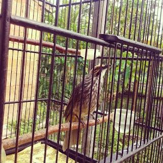 Burung Cucak Rowo - Jenis-Jenis Burung Cucak Rowo Berdasarkan Daerah Asal atau Penyebarannya - Penangkaran Burung Cucak Rowo