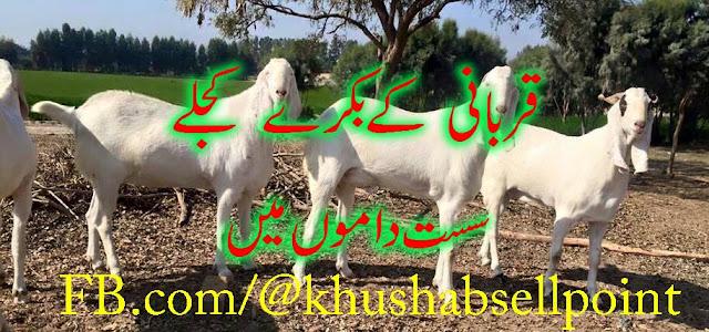 in PakistanOnline Purchase Bakra For Qurbani