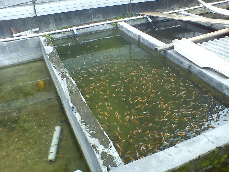 contoh kolam ikan nila