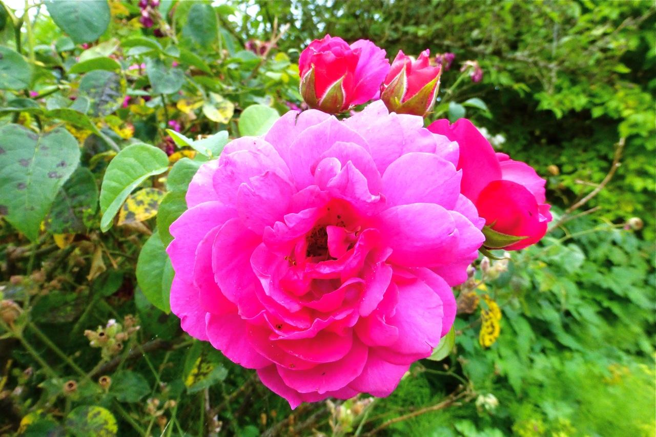 Owen Rose Garden, pink rose, rose