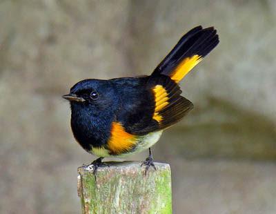 Photo of American Redstart on branch