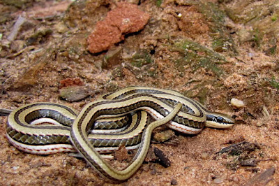 Three lined grass Snake