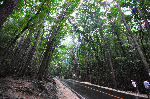 Mahogany trees forest in Bohol