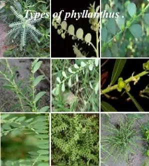 கீழாநெல்லியும் பல்வகை இனங்களும் - Keelanelli - Phyllanthus Species.