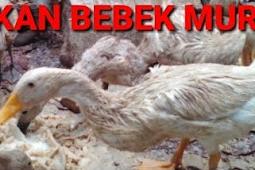 Cara Pembuatan Pakan Bebek Alternatif