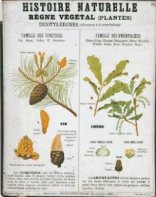 Planche d'histoire naturelle Deyrolle, édition 1900, collection « Règne végétal (Plantes) » (collection musée)