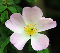 Eglantine or Sweet Briar (Rosa rubiginosa) in Shakespeare
