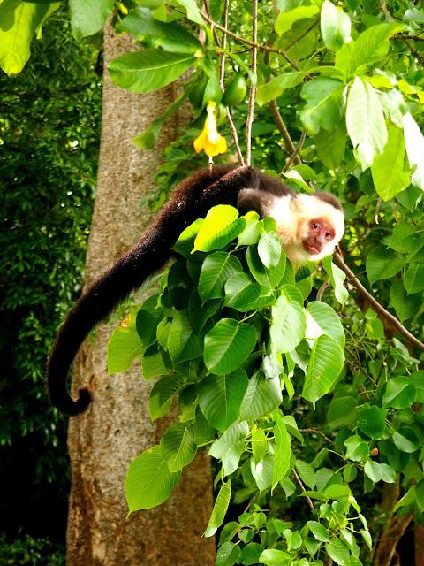 Wild capuchin monkeys on Ometepe Island, Nicaragua