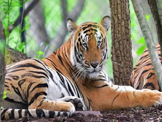 14 Tiger Reserves in India received CA TS Accreditation