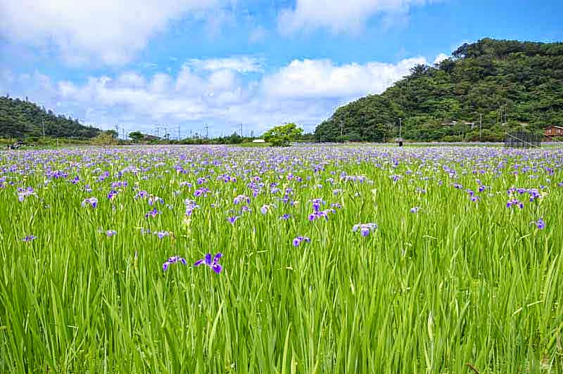 iris field, flowers, mountains