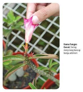Tukang Taman Surabaya mengatasi fungus Genut Bunga Adenium