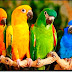 90 Gambar Foto Burung Peliharaan Tercantik dan TerKeren Sangat Unik, Langkah