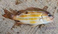 Five-lined Snapper