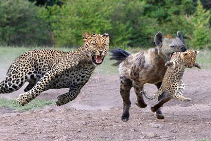 16 Fakta Mengerikan Tentang Hyena, yang Betina Memiliki Penis