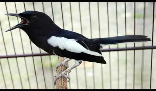 burung kacer ngedrop