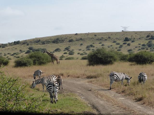 Nairobi National Park, cebras y jirafa