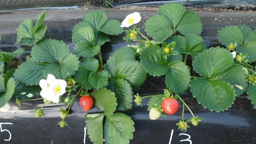 국내 최초 씨앗으로 재배할 수 있는 딸기 품종 '씨베리' 개발