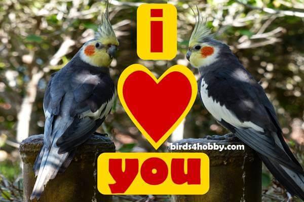 طيور الكروان تغريد ذكر طائر الكوكتيل لتزاوج لتحفيز الذكور والإنات على التزاوج male cockatiel sing ,طيور الكوكتيل, طيور الكروان, افضل انواع طيور الكوكتيل, طيور الكوكتيل وتربيتها, طيور الكوكتيل معلومات, علامات تزاوج طيور الكوكتيل, ماذا يحب طائر الكوكتيل, تربية طيور الكوكتيل, كيف تجعل طائر الكوكتيل يحبك, صوت طائر الكوكتيل, اسعار طيور الكروان, ماذا يأكل طائر الكروان, تربية طائر الكروان, اسماء طيور الكروان, أنواع طيور الكروان, الكروان المصري, صوت طائر الكروان, افضل انواع الكروان,