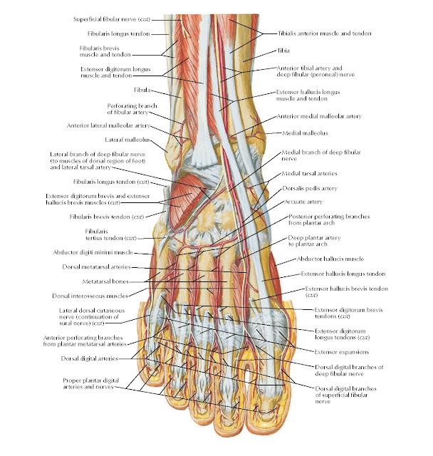 Dorsum of Foot: Deep Dissection Anatomy