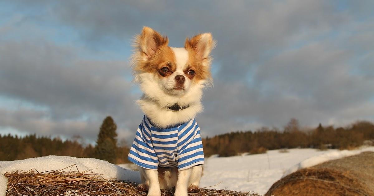 Funny Chihuahua T Shirts