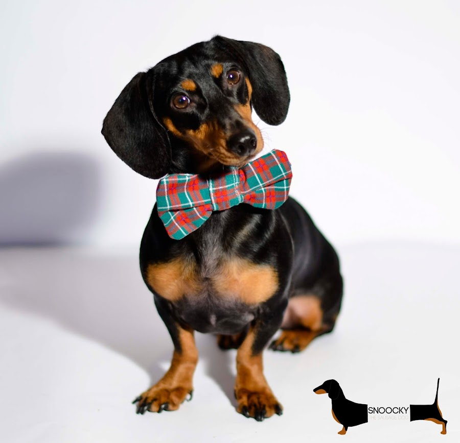 snoocky-the-sausage-dog-teckel-negro-black-dachsund