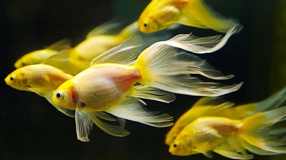 Ikan Komet - Ikan Hias Yang Kuat Hidup Tanpa Oksigen / Aerator