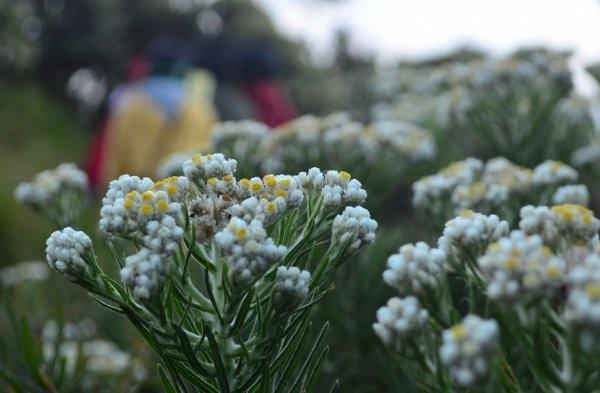 bunga edelweiss (Abadi)