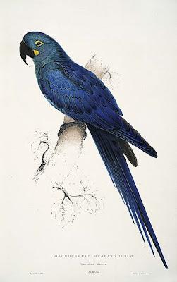 Arara Azul de Lear (Anodorhynchus leari)