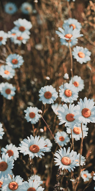 Cúc hoa mị trắng đẹp tuyệt trần