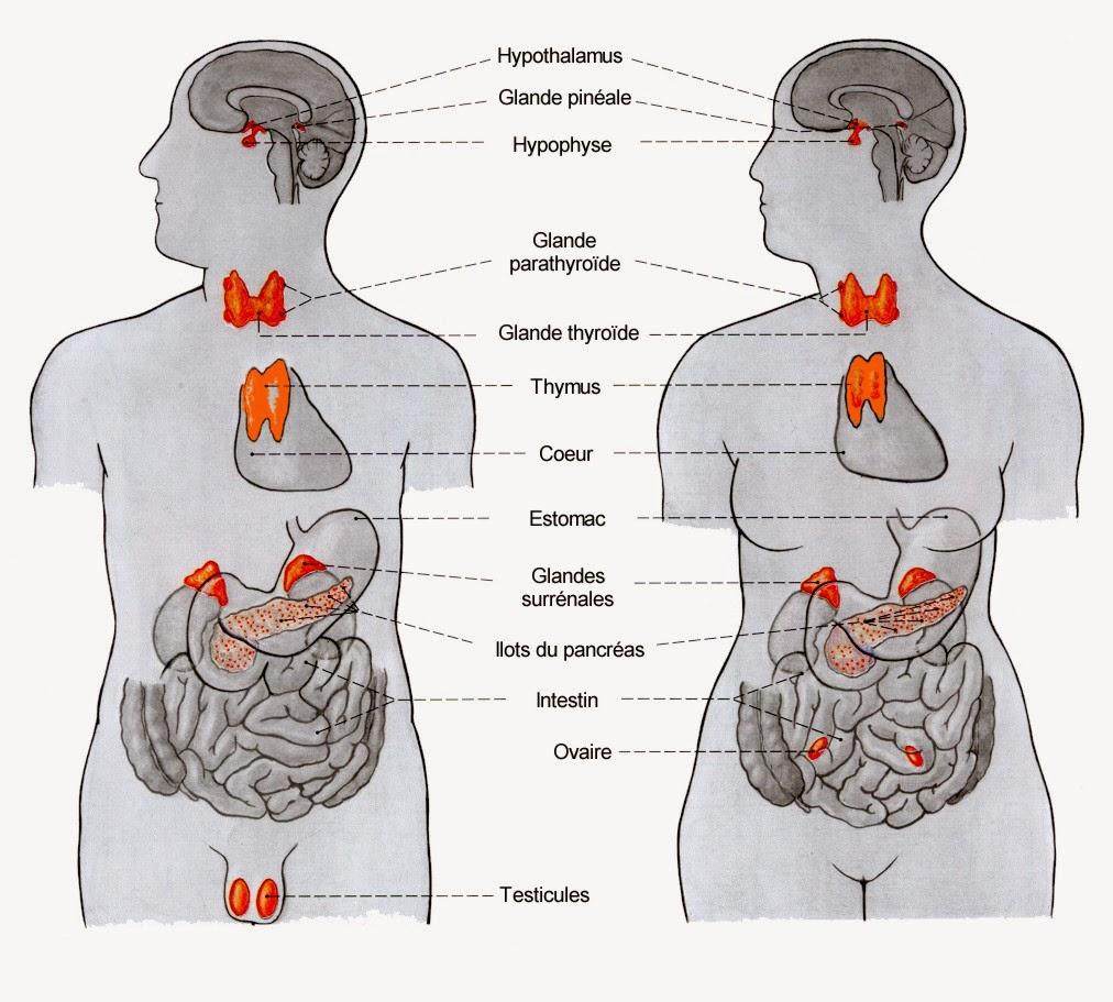 glandes corps humain