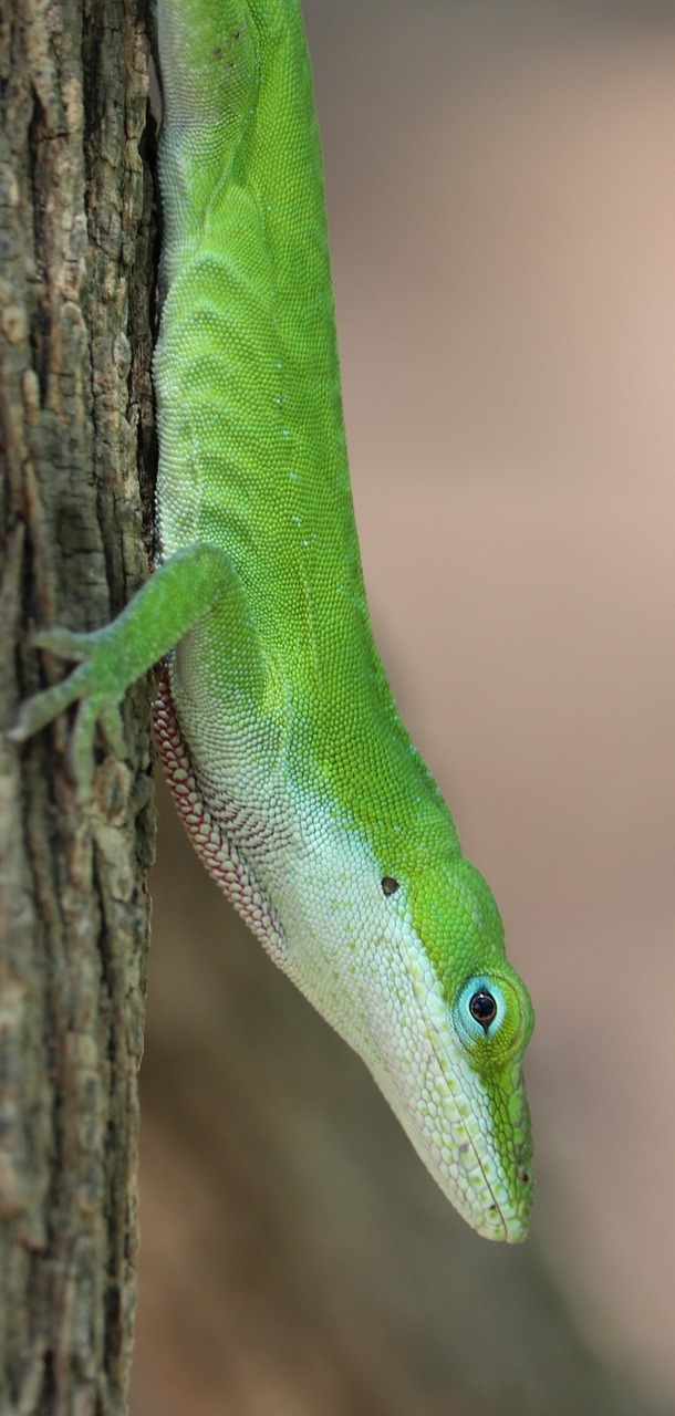 Photo of a green lizard.