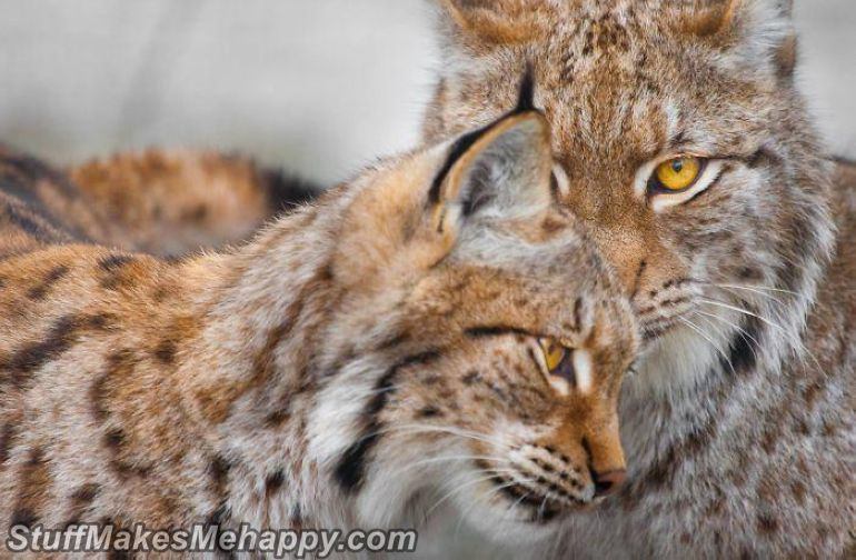 12. Big cats also know how to love