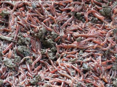 Vermicompostagem, minhocário, como fazer vermicompostagem, minhocas, vermelhas californianas, resíduos sólidos, resíduos orgânicos, tratamento de resíduos, gestão de resíduos sólidos, natureza, conservação da natureza, alternativas para tramamento de resíduos sólidos