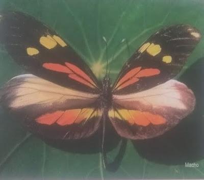 Mariposa bonita arco iris (Dismorphia astyocha)