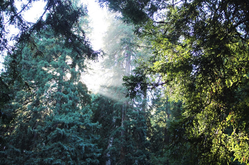 Sunlight in Muir Woods - California travel blog