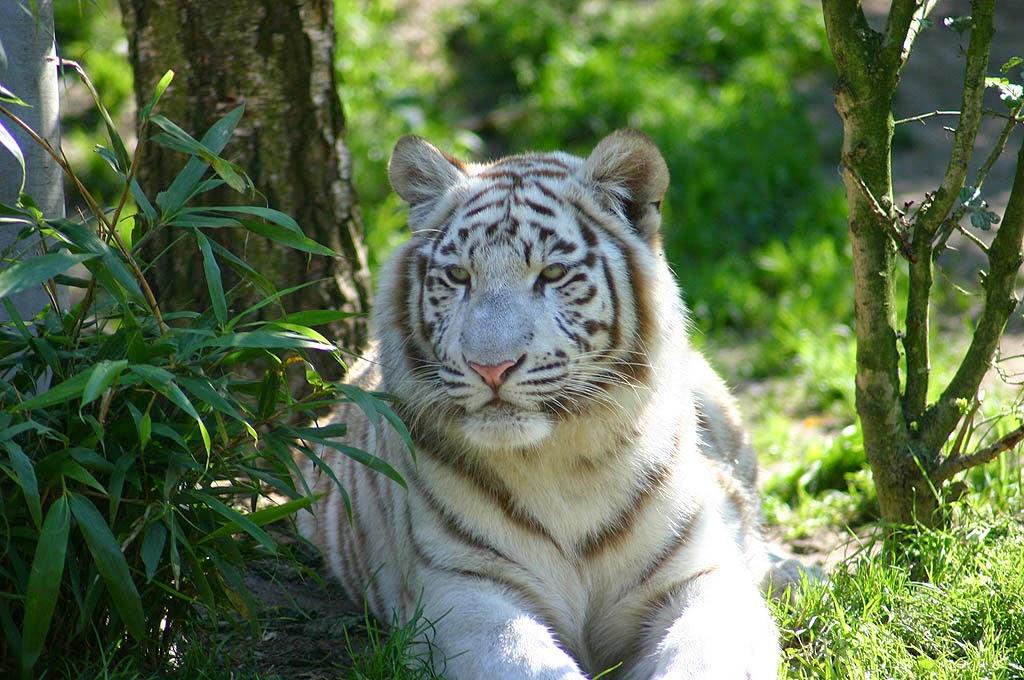 White tiger wallpapers hd desktop wallpapers free download - White tiger wallpaper free download ...