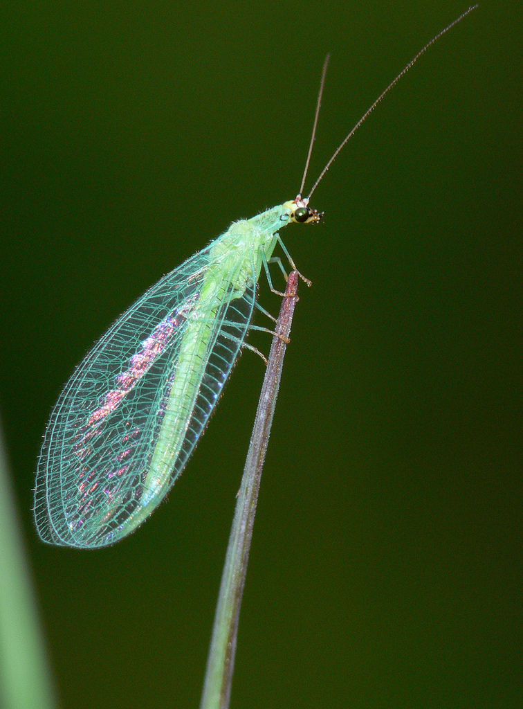 Real Monstrosities: Green Lacewing