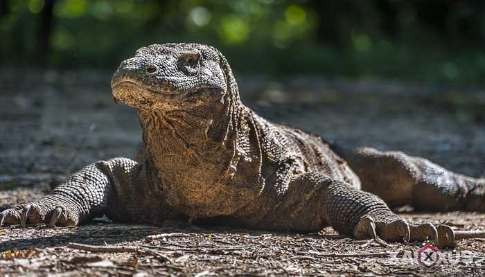 Hewan buas yang ada di Indonesia - Komodo