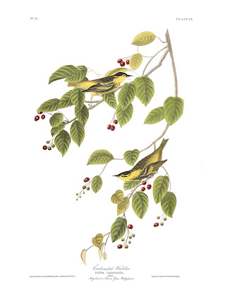 Carbonated Warblers. Plate 60. Illustration: John James Audubon.