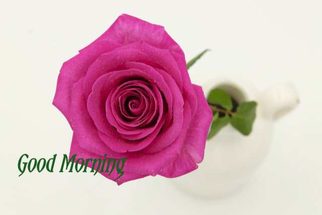 Good morning download pink rose image